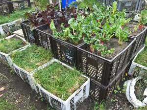 Urban Gardening in Kisten
